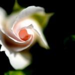 アスピリン Rose