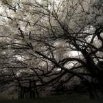 龍舞(湖畔の一本桜)